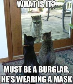 Funny-raccoon-cats-burglar-mask
